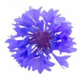 Blue cornflowers Stock Photo