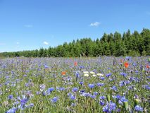 Blue cornflowers in meadow, Lithuania Royalty Free Stock Photos
