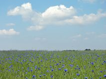 Blue cornflowers in meadow, Lithuania Stock Image