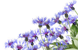 Blue cornflowers postcard Stock Photos