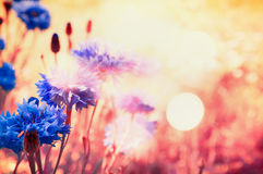 Blue cornflowers in rays of sun with bokeh , floral nature. Background royalty free stock images