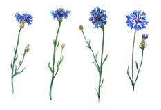 Blue cornflowers set. Stock Images