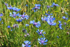 Blue cornflowers in summer Royalty Free Stock Image