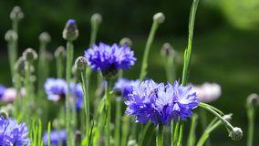 Blue cornflowers. Swaying blue cornflowers sunny day