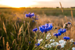Blue cornflowers at warm, atmospheric summer evening Royalty Free Stock Image