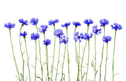 Blue cornflowers Royalty Free Stock Photos