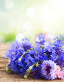Blue cornflowers on white Royalty Free Stock Photography