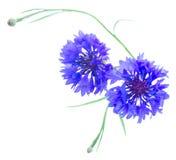 Blue cornflowers on white royalty free stock photos