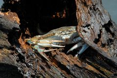 Blue Crab. A blue crab hiding in the driftwood Stock Images
