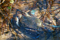 Blue Crab. Feeding at shoreline Stock Images