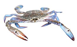 Blue crab. Colourful photo of huge beautiful blue crab with powerful claws isolated on white background Stock Images