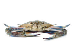 Blue Crab Stock Images
