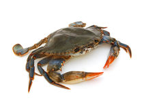 Free Blue Crab Royalty Free Stock Photos - 27075658