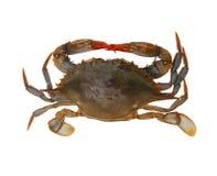 Blue Crab Royalty Free Stock Photo