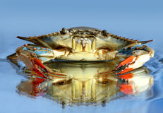 Free Blue Crab Royalty Free Stock Images - 28446179