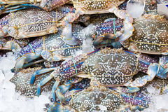 Free Blue Crab Royalty Free Stock Photography - 30569187