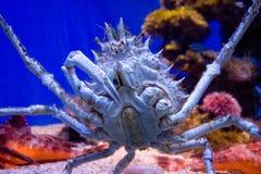 Blue crab. A closeup view of a blue crab crawling the bottom of an aquarium Stock Photos