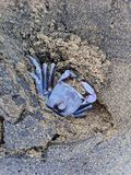 Blue Crab. A blue crab on the beach Stock Photo