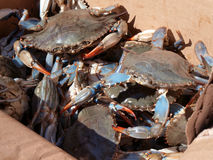 Blue crab in box close up Stock Photos
