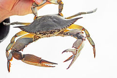 Blue crab, Callinectes sapidus Royalty Free Stock Photo