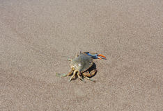 Blue crab, Callinectes sapidus in sand Stock Images