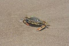 Blue crab, Callinectes sapidus in sand Stock Images