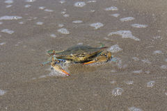 Blue crab, Callinectes sapidus in sand Stock Photography