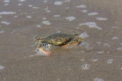 Blue crab, Callinectes sapidus in sand. Photo Stock Photography