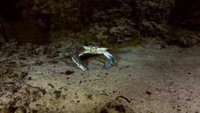 Blue crab in cave bush lake Yucatan Mexican cenote stock video