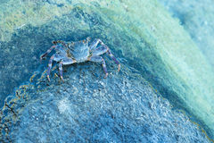 Blue Crab. Coming out of the water royalty free stock photography