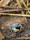 Blue Crab royalty free stock photos