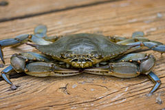 Blue crab on the deck. Royalty Free Stock Images
