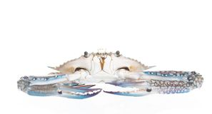 Blue crab (Flower crab, Blue swimmer crab, or Sand crab) on whi royalty free stock photo