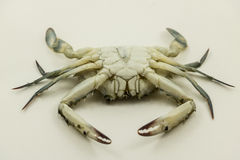 Blue Crab fresh from the sea, on a white texure. royalty free stock photography