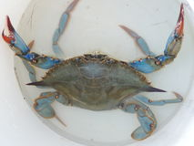 Blue Crab. Photographed in Lido di Volano, Italy Stock Photography