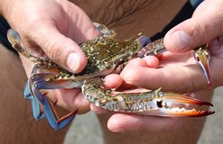 Blue crab in hands Stock Images