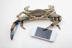 Blue crab holding mobile phone Stock Photo