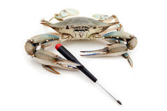 Blue crab holding a screwdriver Royalty Free Stock Photos