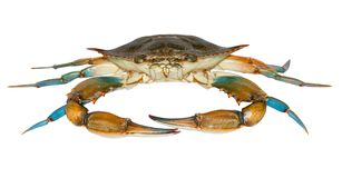 Blue crab isolated. On white background stock images
