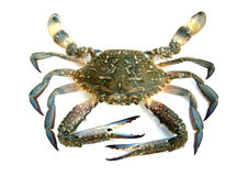 Blue crab isolated Stock Photography
