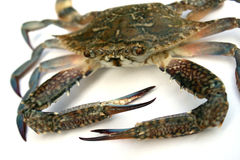 Blue crab isolated Stock Photo