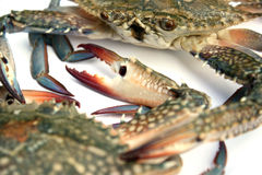 Blue crab isolated Royalty Free Stock Photos