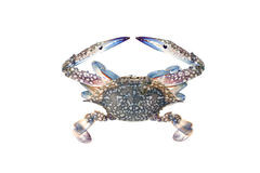 Blue crab isolated on white background. Royalty Free Stock Photos