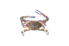 Blue crab isolated on white background. Royalty Free Stock Images
