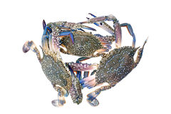 Blue crab isolated on white background. Royalty Free Stock Photography