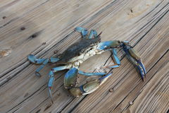 Blue Crab Johns Island SC Royalty Free Stock Photography