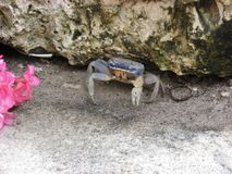 Blue Crab. That just crawled out of a huge rocky area in Mexico Royalty Free Stock Photography