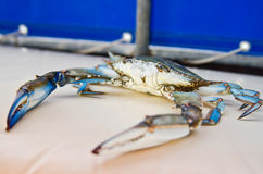 Blue Crab with large pincers Stock Images