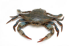 Blue crab. Live blue crab animal on white background royalty free stock images