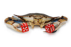 Blue crab with red dice Stock Image